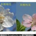 单瓣梅花相片