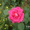 我家院子里的花