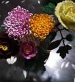 牡丹和菊花