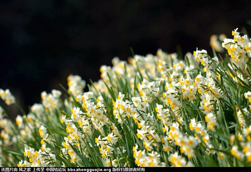 中国结论坛 【Narcissus 水仙属】 被子植物,向日葵 立体绳结教程与交流区 104320lappcj8ljj66m89p