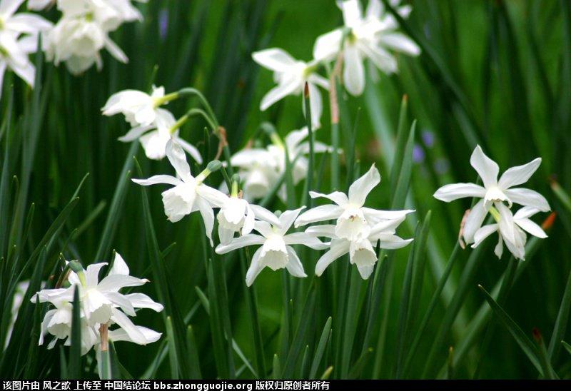 中国结论坛 【Narcissus 水仙属】 被子植物,向日葵 立体绳结教程与交流区 1044143656mj4pig1gjz13