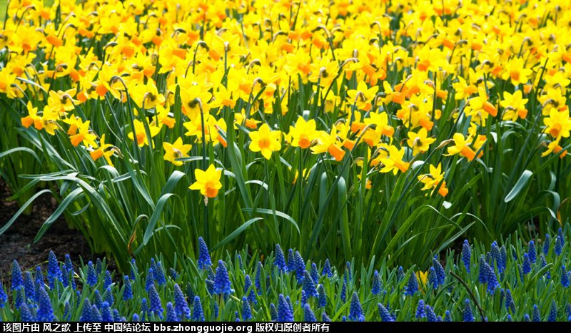 中国结论坛 【Narcissus 水仙属】 被子植物,向日葵 立体绳结教程与交流区 104437nookkwinag4oh14a