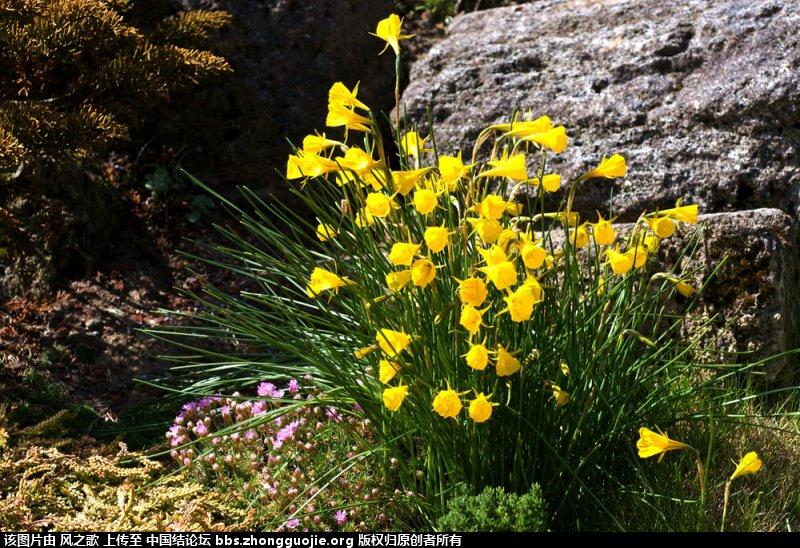 中国结论坛 【Narcissus 水仙属】 被子植物,向日葵 立体绳结教程与交流区 1045094she0tr5itrmm4kt