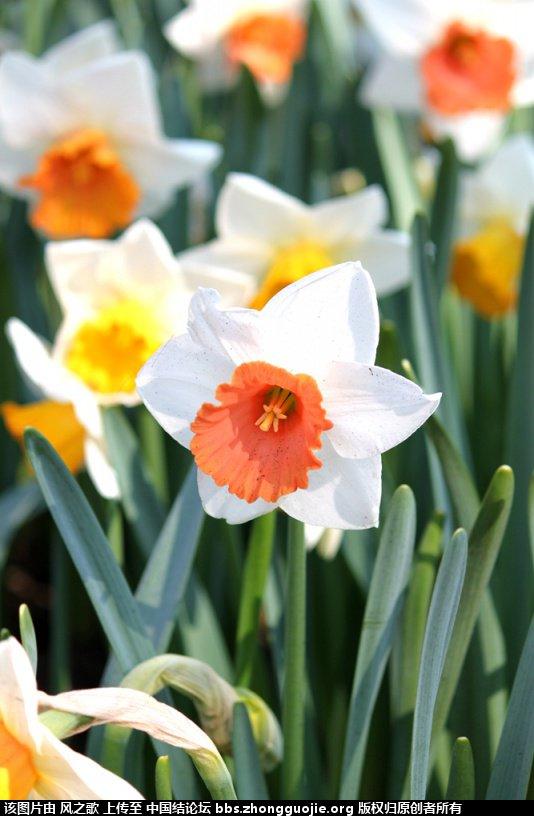 中国结论坛 【Narcissus 水仙属】 被子植物,向日葵 立体绳结教程与交流区 104537jelijnvkvyj9ei2s