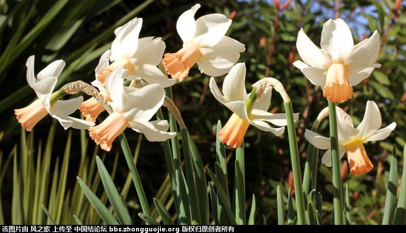 中国结论坛 【Narcissus 水仙属】 被子植物,向日葵 立体绳结教程与交流区 10455184fy93yue5xyb51r