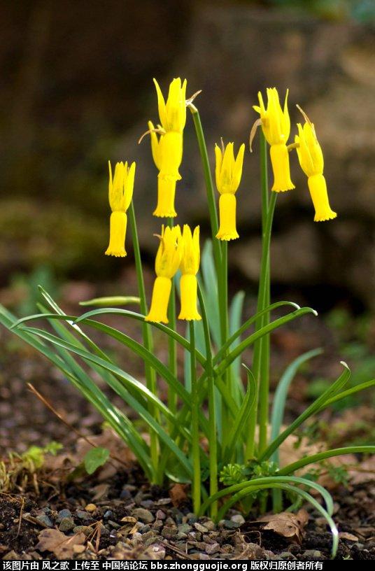中国结论坛 【Narcissus 水仙属】 被子植物,向日葵 立体绳结教程与交流区 104604aar4bl8vir7bglri