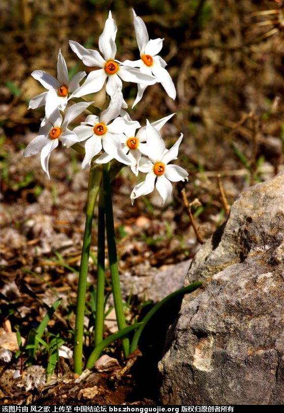 中国结论坛 【Narcissus 水仙属】 被子植物,向日葵 立体绳结教程与交流区 104615eunpddtnmt2minie