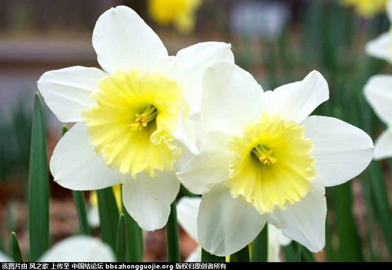 中国结论坛 【Narcissus 水仙属】 被子植物,向日葵 立体绳结教程与交流区 1046268lti8i8krt1lxjpl