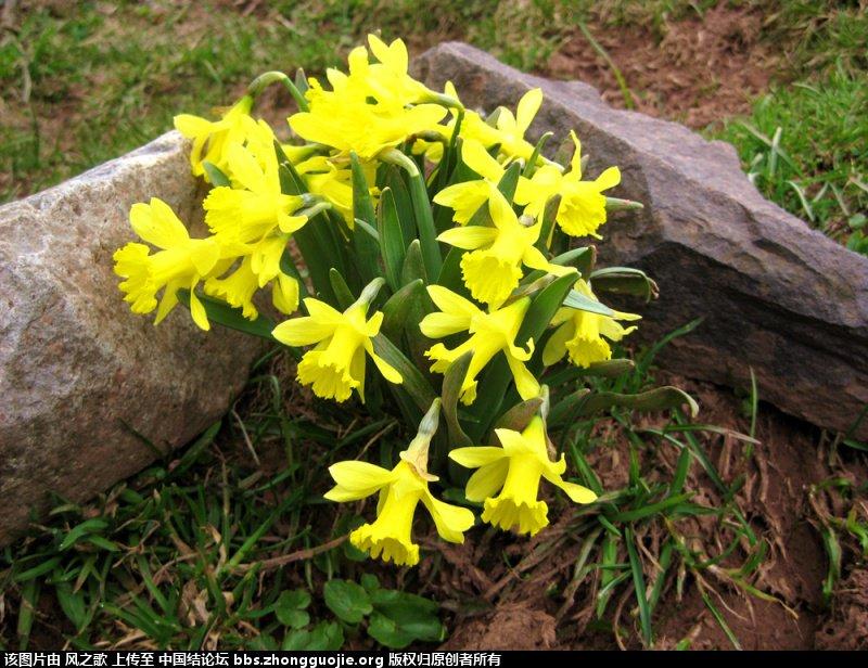 中国结论坛 【Narcissus 水仙属】 被子植物,向日葵 立体绳结教程与交流区 104641yqtqydsw2ppuzvip