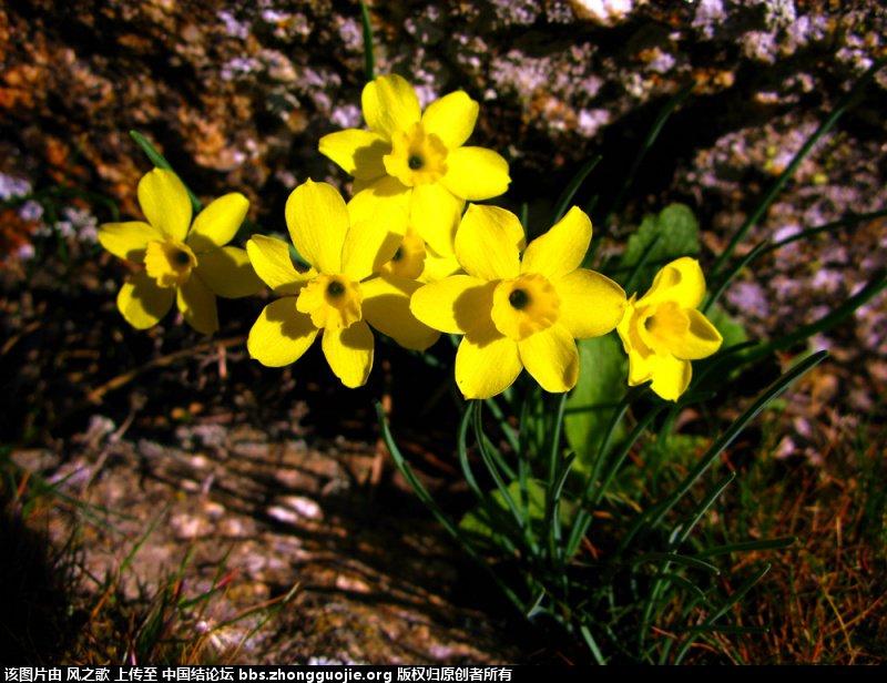 中国结论坛 【Narcissus 水仙属】 被子植物,向日葵 立体绳结教程与交流区 104655mv8sq5quy5qd3z44
