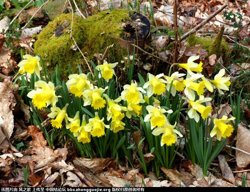 中国结论坛 【Narcissus 水仙属】 被子植物,向日葵 立体绳结教程与交流区 1047235rgo4slr35sf3i3i