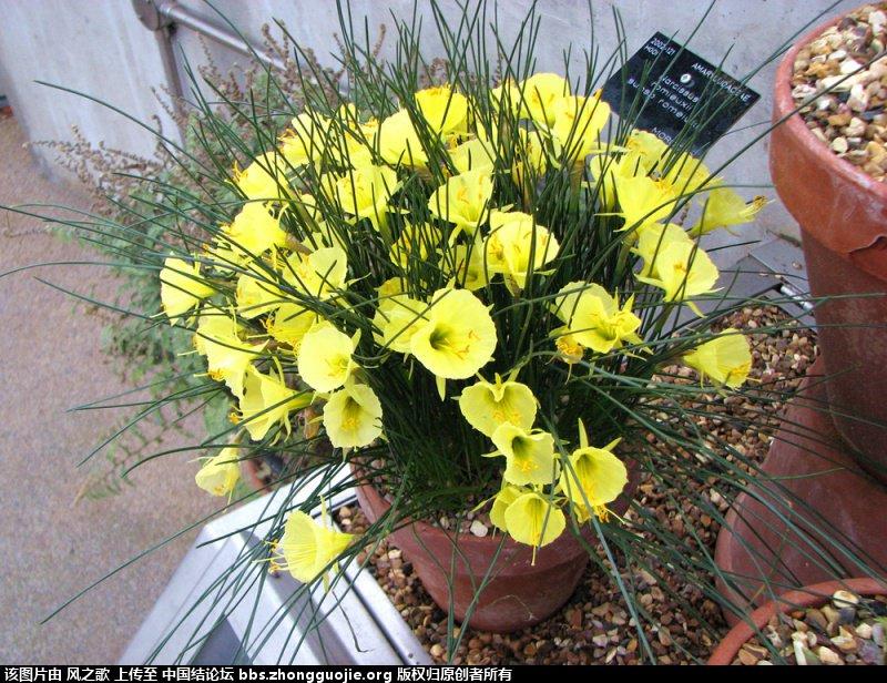 中国结论坛 【Narcissus 水仙属】 被子植物,向日葵 立体绳结教程与交流区 104739a6kkwy2a1r0ywr2k