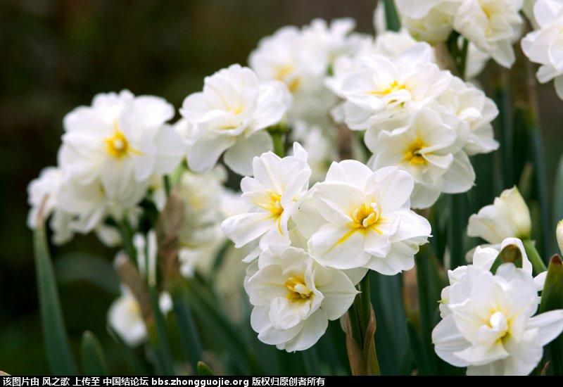 中国结论坛 【Narcissus 水仙属】 被子植物,向日葵 立体绳结教程与交流区 104754plybz44af2iaalna