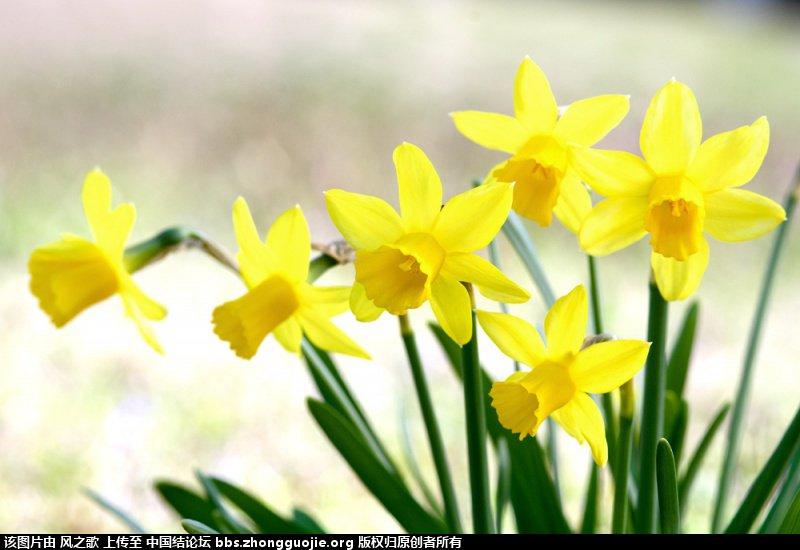 中国结论坛 【Narcissus 水仙属】 被子植物,向日葵 立体绳结教程与交流区 104805pdggvabl2aadmqla