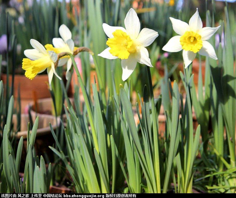 中国结论坛 【Narcissus 水仙属】 被子植物,向日葵 立体绳结教程与交流区 104817s4fjh45juzl7lll7