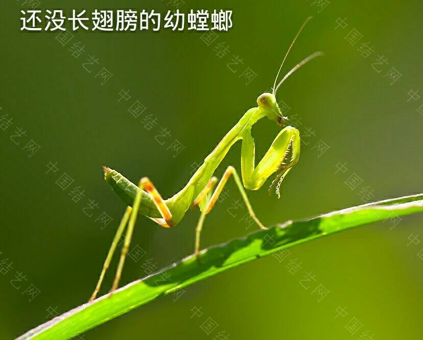 中国结论坛 螳螂  立体绳结教程与交流区