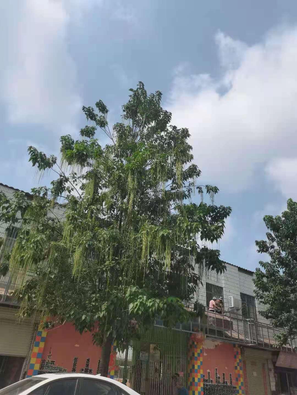 中国结论坛 请问这是什么树? 乌桕树,香樟树是什么样的,这是什么树拍照识别,木槿树开花吗,家里种女贞树好吗 结艺互助区 154520jfcf1nccgfd1d741